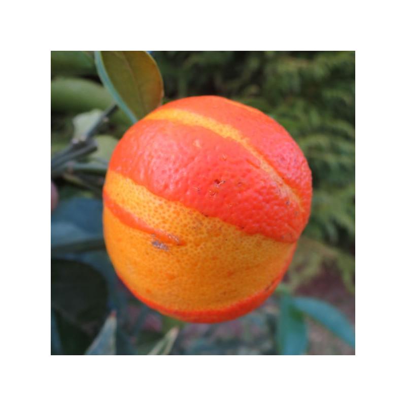 Citrus aurantium virgatum