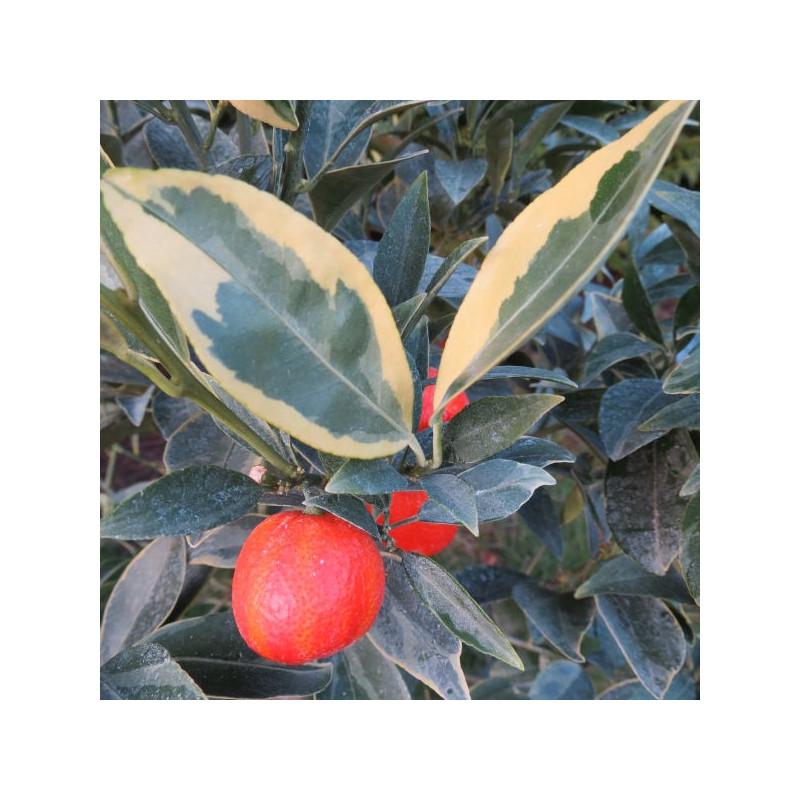 Citrus unshiu x F. Margarita centennial