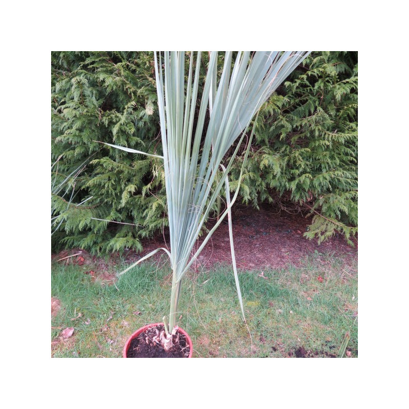 Sabal palmetto 10 l