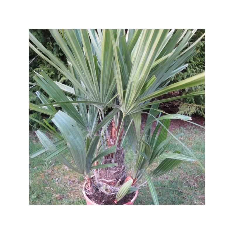 Rhapidophyllum hystrix 5 l
