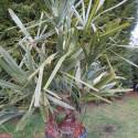 Rhapidophyllum hystrix 25 l