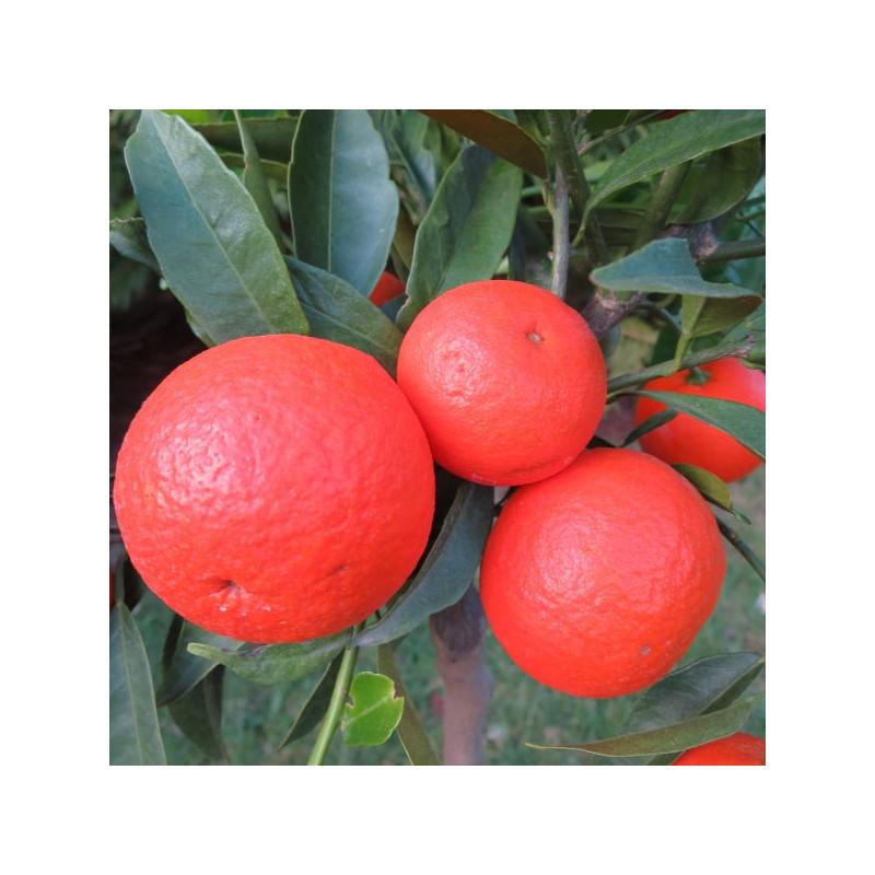 Citrus clementino rubino