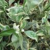 Citrus sinensis variegata