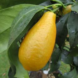 Citrus fortunella margarita maxima