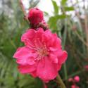 Prunus persica taoflora® red
