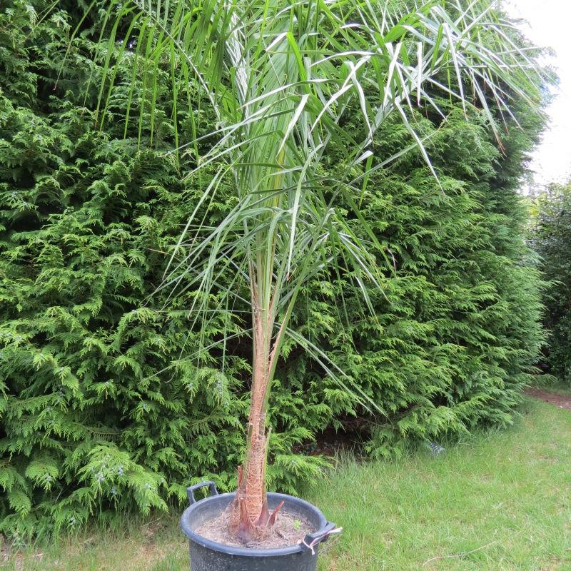palmiers exceptionnels, de grande taille, rares - achat vente