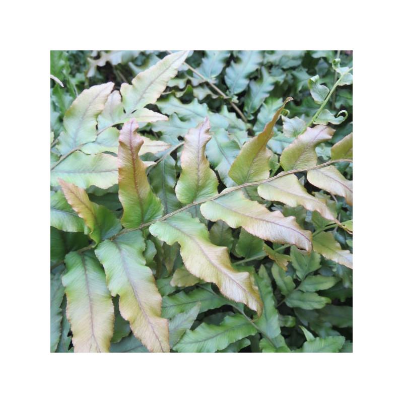 Blechnum nova-zelandiae