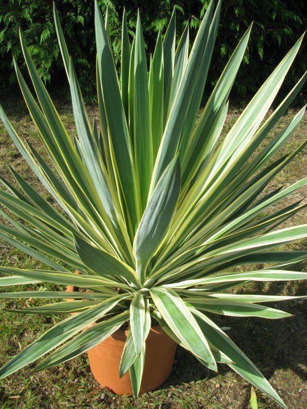 Picture of Live Spanish Dagger aka Yucca gloriosa 'Bright Star' Plant Fit 1 Gallon Pot