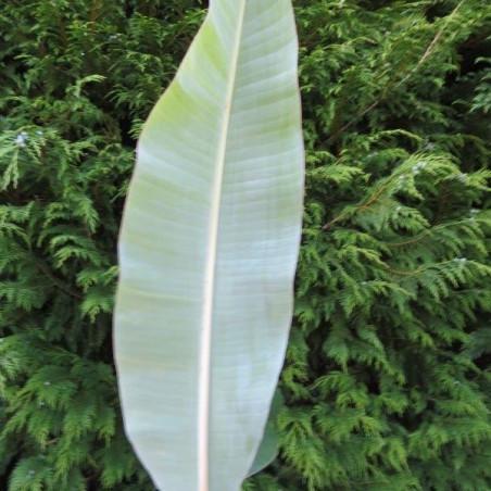 Musa manzano