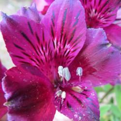 Alstroemeria inticancha dark purple®