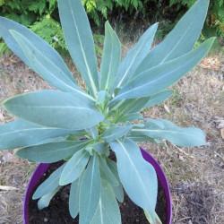 Echium gentianoides