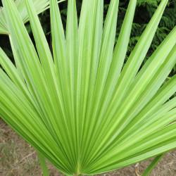 Brahea nitida green form