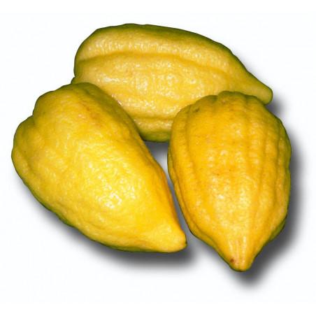 Citrus medica corsican
