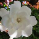 Gardenia double mint®