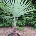 Trachycarpus princeps x fortunei
