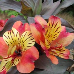 Alstroemeria inticancha Indian summer®