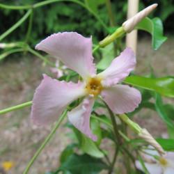 Trachelospermum pink showers®