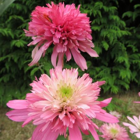 Echinacea minibelle