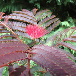 Albizia new purple