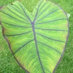 Colocasia blue Hawaii®