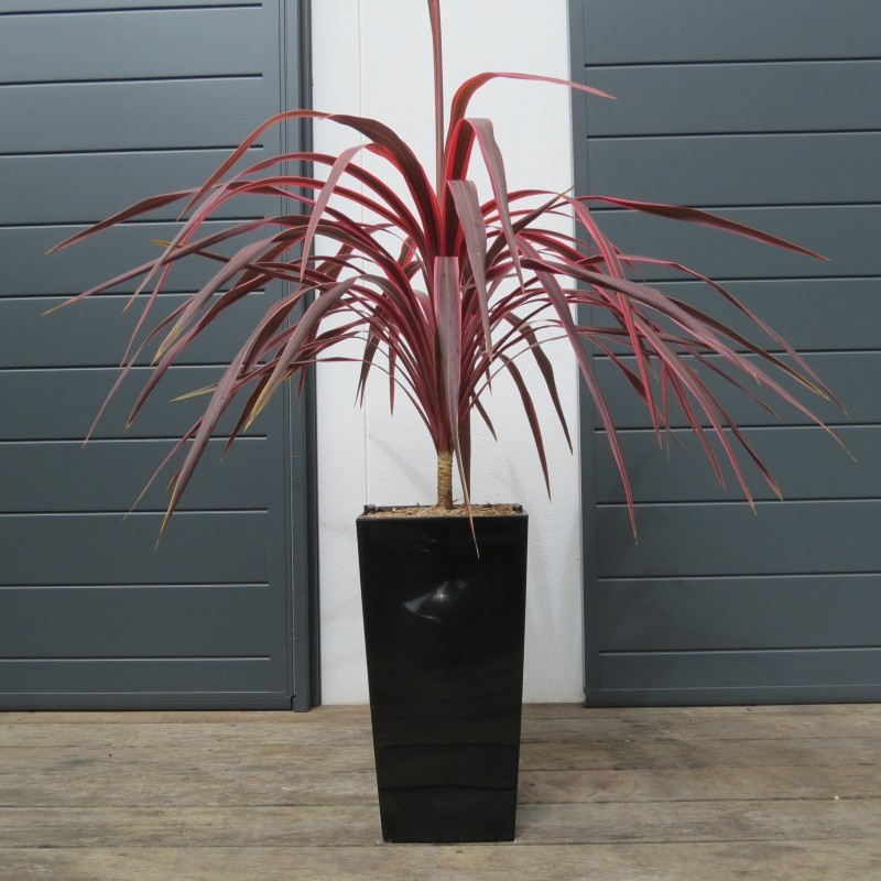Cordyline cherry sensation