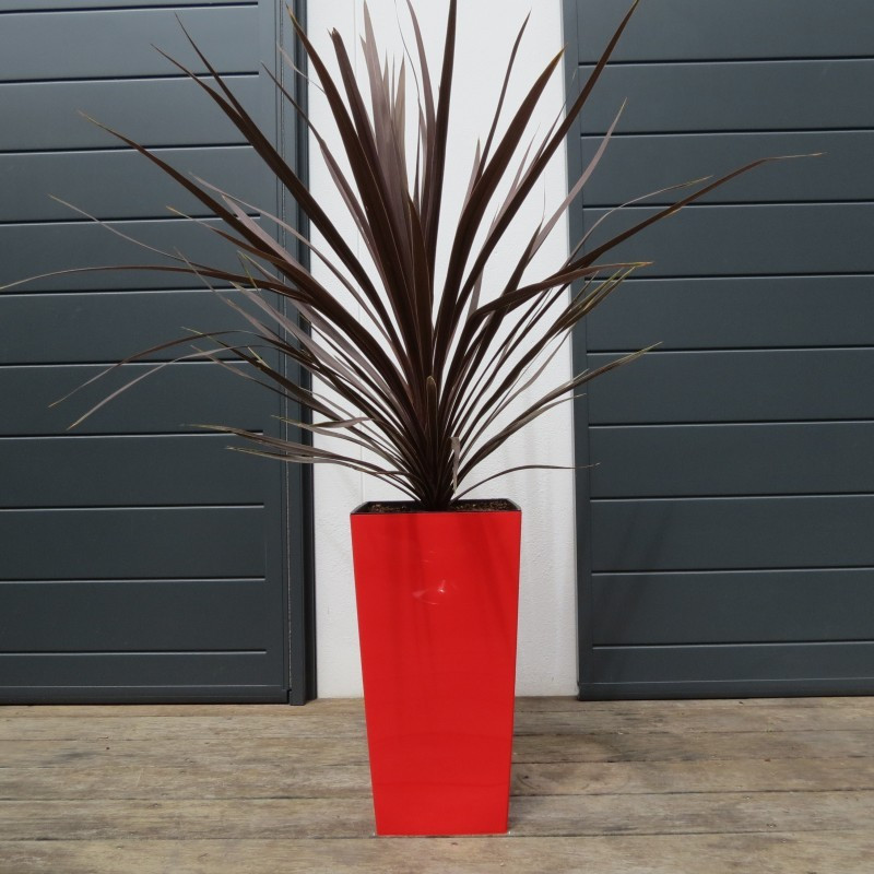 Cordyline red comet