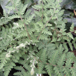 Cheilanthes tomentosa