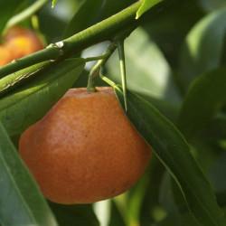 Citrus clementina Monreal
