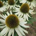 Echinacea white meditation