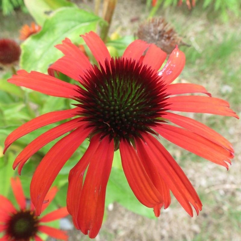 Echinacea orange skipper