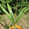Oraniopsis appendiculata