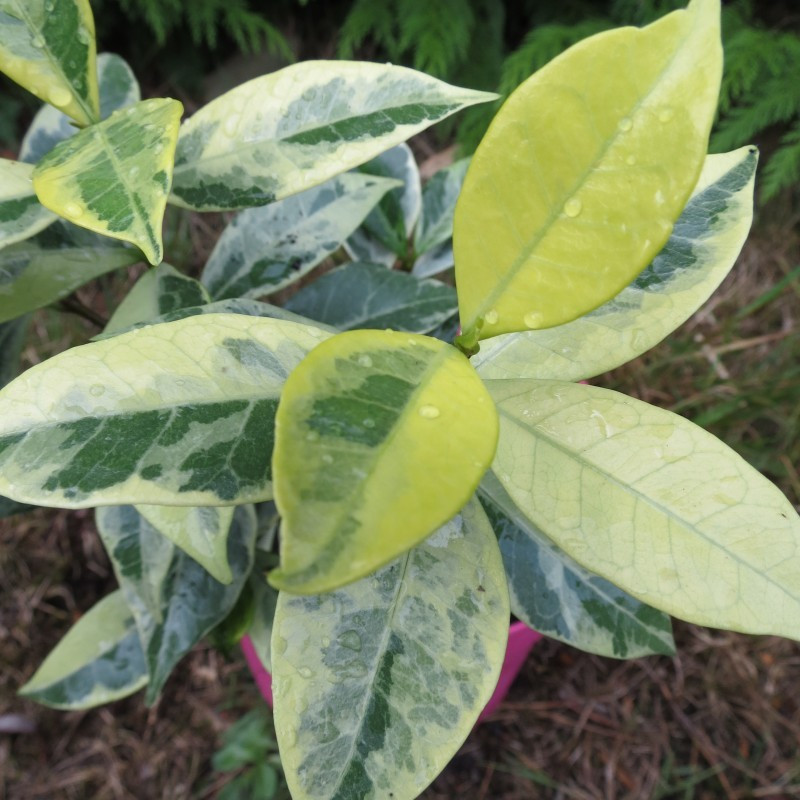 Trachelospermum sunlover®