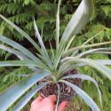 Yucca recurvifolia x Yucca treculeana caniculata