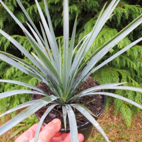 Yucca recurvifolia x Yucca linearifolia bleu