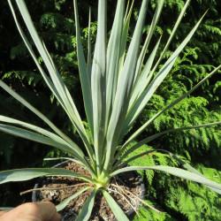 Yucca filamentosa x Yucca gloriosa