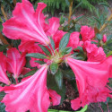 Azalea encore® princess