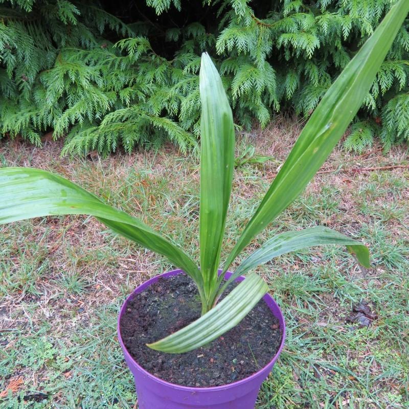 Jubaeopsis caffra