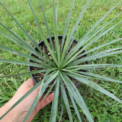 Yucca linearifolia bleu x Yucca recurvifolia