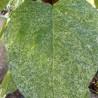 Catalpa speciosa pulverulenta