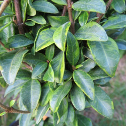 Trachelospermum jasminoides nana