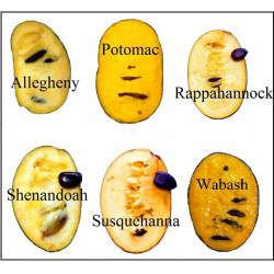 Asimina triloba Potomac™ (Potomac® Peterson Pawpaws®)