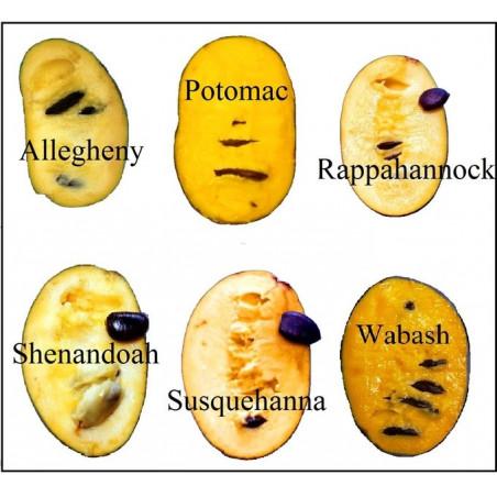 Asimina triloba Wabash™ (Wabash® Peterson Pawpaws®)