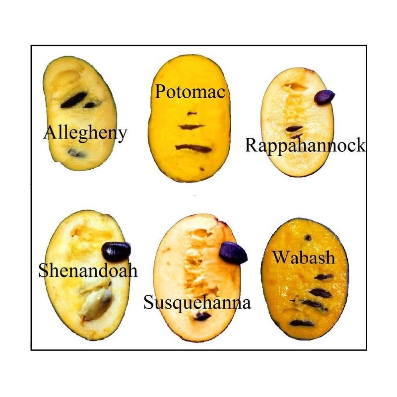 Asimina triloba Rappahannock