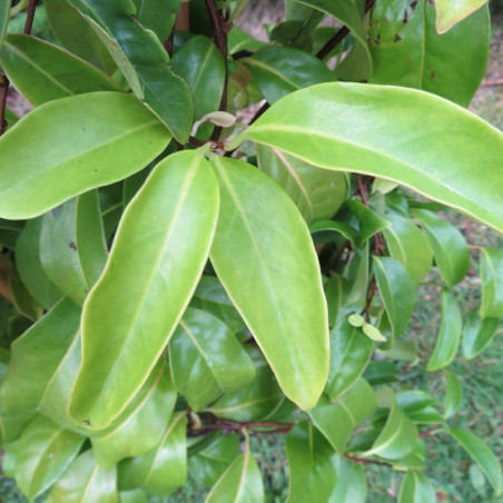 Kadsura japonica