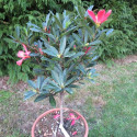 Camellia changii