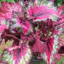 Begonia T REX™ St Nick