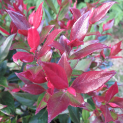 Leucothoe little flames