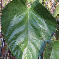Morus alba giant fruit®