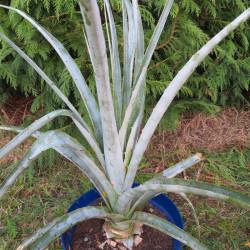 Puya castelanosii