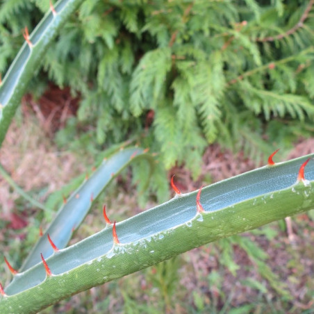 Puya densiflora
